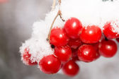 Macro of Rowan in Hoarfrost — Stock Photo