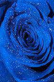Blauwe roos met druppels — Stockfoto