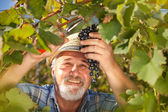 Harvesting Grapes in the Vineyard — Stock Photo