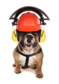 Bulldog wearing protective workwear hat — Stock Photo