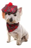 West highland terrier — Stockfoto