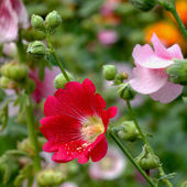 Hollyhock flower in the nature — Stock Photo
