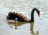 Black Swan with little duckling in the pond — Stock Photo