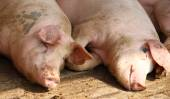 Two pigs in the sty of the breeder farm — Stock Photo