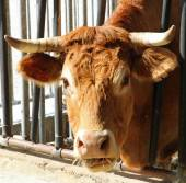 Brown cow of the breed while eating straw and hay in the barn — Stock Photo