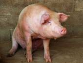 Big pink pig in the pigsty of the farm in the countryside — Stock Photo