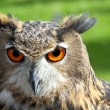 Great OWL face with orange eyes and attentive gaze — Stock Photo #54441947