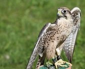 Little Peregrine Falcon perched on a support — Foto Stock