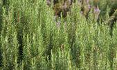 зеленые душистые кусты розмарина в южной италии — Стоковое фото