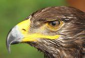 Eagle with yellow hooked  beak and the watchful eye — Stock Photo