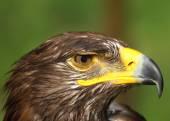 Eagle with yellow beak and the watchful eye — Stock Photo