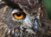 Yellow eyes of an OWL at night hunting — Stock Photo