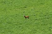 Young Deer run free on the mountain green meadow — Foto Stock