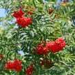 Постер, плакат: Mountain ash Sorbus Bush with large red berries but poisonous