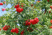 Mountain ash Sorbus Bush with large red berries but poisonous — Stock Photo