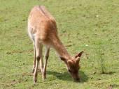 Young roe deer grazing alpine meadow — Stockfoto