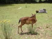 Young deer  grazing in alpine meadow in summer — Stockfoto