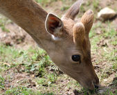 Fawn grazing in the high mountains — Stock Photo