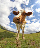 Great cow  photographed with a fisheye lens — Foto de Stock