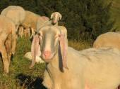Snout of sheep in the middle of the herd grazing in the mountain — Stock Photo