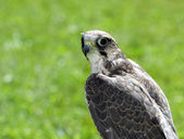 Peregrine Falcon with black eyes with the green background — Stock Photo