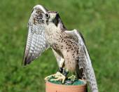 Large Peregrine Falcon with black eyes with the green background — Stock Photo