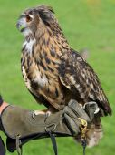 Falconer with the OWL training glove — Stock Photo
