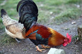 Cock with the Red Crest and the hen — Stock Photo