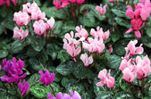 Red purple and pink cyclamen — Stock Photo