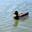 Duck that swims in the lake water with open beak — Stock Photo #70384895