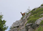 Chamois looks with attention from the rock of the mountain — Stock Photo