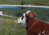 Cattle cow grazing in the meadow in the mountains — Stock Photo
