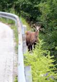 Chamois on mountain road with guardrail — Stock Photo