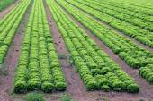 Big field of green lettuce in the plains in summer — Stock Photo