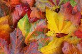 Maple leaf background — Stock Photo