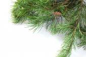 Avec cônes de pin — Photo