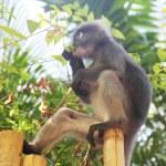 Monkey eating leaves — Stock Photo #58247421