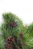 Pine with cones — Stock Photo