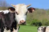 Kor på gröna fält — Stockfoto