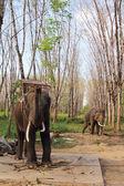 Elephants on rubber tree plantation — Stock Photo