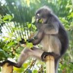 Monkey eating leaves — Stock Photo #66302067