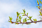 Twig with spring buds  — Stock Photo
