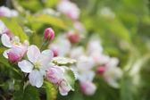 Flor manzano — Foto de Stock