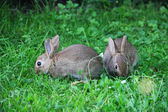 Baby rabbits in grass — Stock Photo