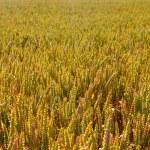 Wheat field close-up — Stock Photo #76708599