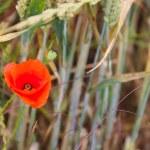 Poppy in wheat field — Stock Photo #77742356