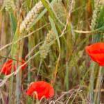 Poppy in wheat field — Stock Photo #77742358