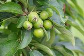 Ripening apples on tree — Stock Photo