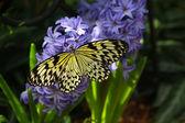 Idee leuconoe vlinder — Stockfoto