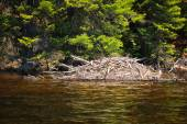 Beaver lodge — Stock Photo